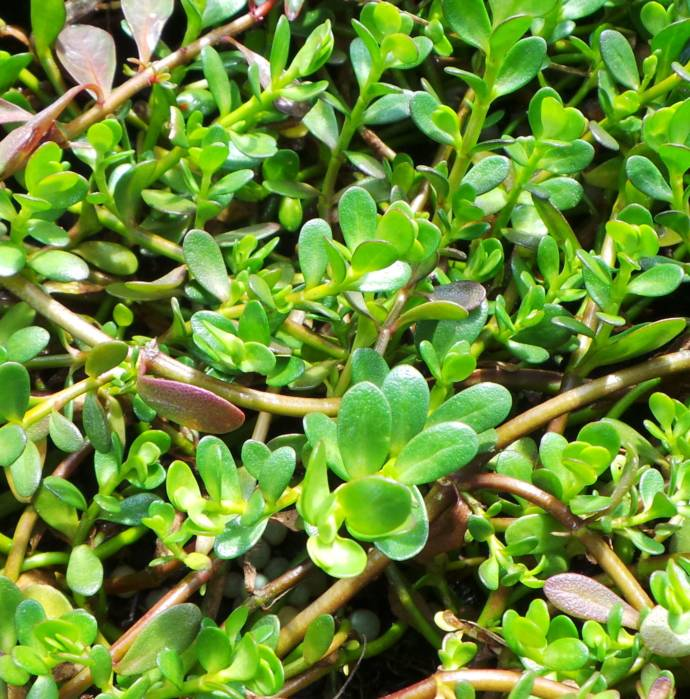 Brahmi to boost memory